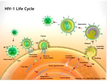 HIV Life Cycle