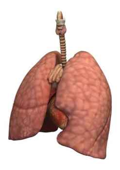 Healthy Women's Lungs