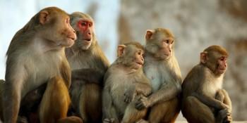 Famíli de macacos Rhesus