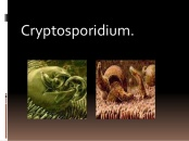 cryptosporidium-ya-1-638